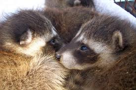 Racoon removal