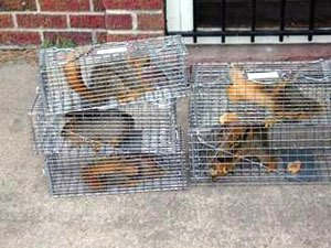 Squirrel trapping services in Michigan