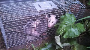 Michigan animal trapping services
