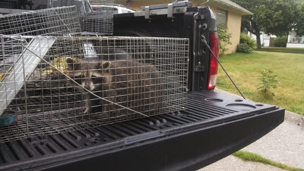 Michigan wildlife animal trapping removal
