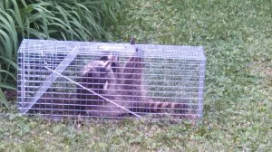 Live Animal Trapping