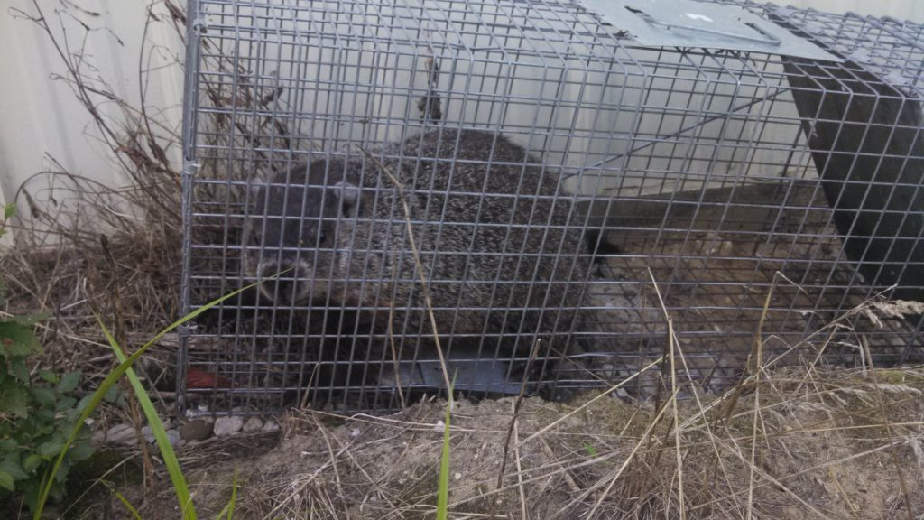 Michigan woodchuck groundhog trapping removal
